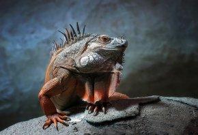 Ящерица, Игуана, сидит на камне