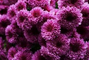 розовые, много, хризантемы