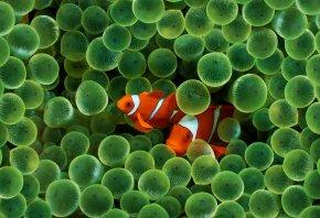 рыбки, клоун, растения, полосатые, оранжевые