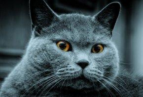 кот, дымчатый, британец, серый