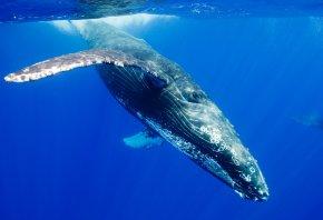 горбатый кит, горбач, длиннорукий полосатик, Megaptera novaeangliae, вода, океан