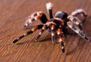 Паук, насекомые, тарантул, паутина