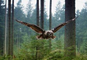 Обои Птица, лес, полёт, сова