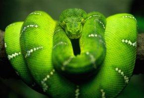 змея, зеленая, ветка, питон