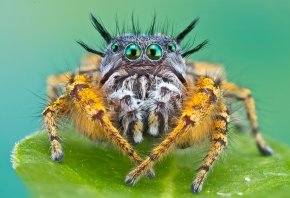 макро, паук, мохнатый, джапер