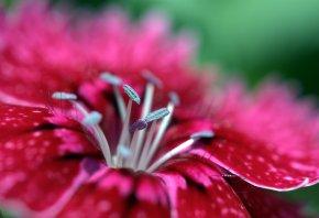 пестики, лепестки, цветок, красивый