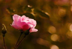 роза, бутоны, цветок