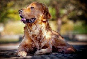 Ретривер, взгляд, собака, друг