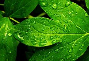 листик, зеленый, капли, вода