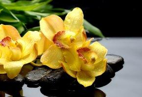 Обои Орхидеи, orchids, черные, капли, макро, желтые, камни