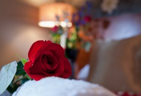 Обои роза, красная, комната, макро