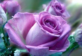 розовая, роза, букет