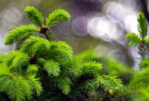 природа, макро, Ёлка, иголки, ветки