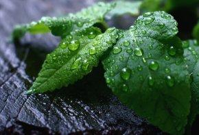 капли, листва, макро