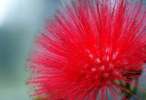 мимоза, красный, цветок