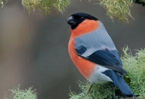 снегири, птичка, клюв, красное брюшко