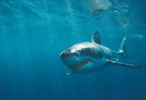 акула, белая, зубы, вода