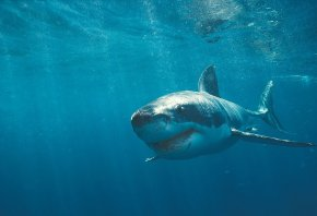 Обои акула, белая, зубы, вода