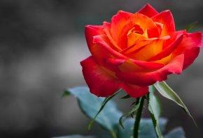 Обои Роза, бутон, orange, Rose