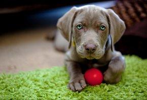щенок, мячик, взгляд, пол