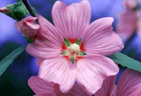 розовый, цветок, красота