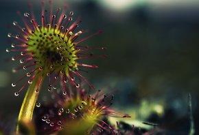 растение, хищник, капли, цветок