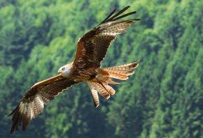птица, полёт, орёл, лес, небо