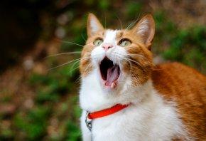 кот, рыжий, рот, зевает, зубы, язык