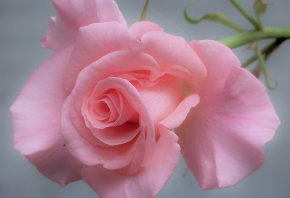 роза, лепестки, нежность, макро