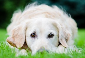 собака, белая, поле, лежит, травка, взгляд