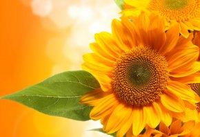 подсолнухи, лист, солнышки, желтые