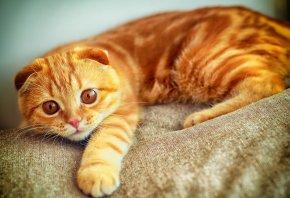 портрет, играет, лапа, рыжий, кот