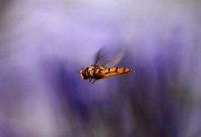 крылья, муха, размытость, макро, сиреневый, Насекомое, полет