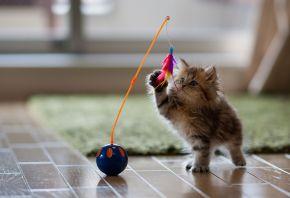 котенок, игра, игрушка, Кошка, перья