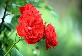 красная, роза, Макро, три, цветок, ветка