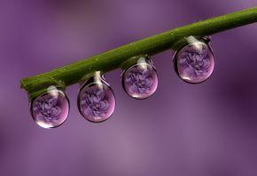 Обои стебель, капли, роса, цветы, отражение, макро, фиолетовый фон