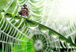 паутина, стебли, капли, бабочка