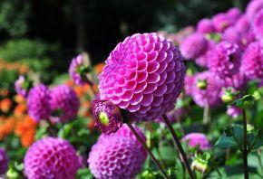георгины, цветы, лепестки