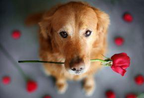 собака, роза, фон, друг