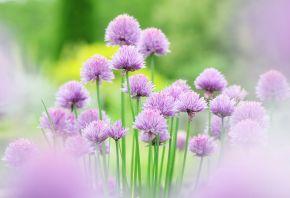 flower, розовые, Цветы, chives