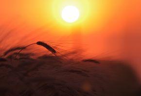 пшеница, колосья, поле, растение, природа, свет, солнце, небо, закат