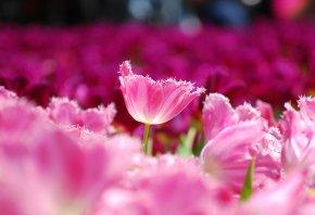 Тюльпаны, розовые, лепестки, цветы, поле, макро, размытость