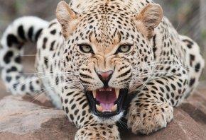 кошка, львица, животное, зубы
