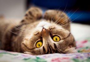 Кот, лежит, на спине, взгляд, мордочка