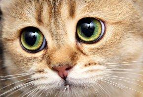 котик, глаза, взгляд, киса, смотрит