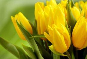 Обои тюльпаны, желтые, бутоны, листья