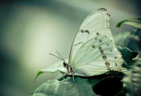 Бабочка, белая, листва, усы
