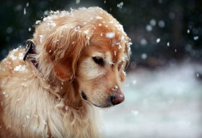 собака, зима, снег, снежинки