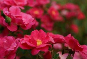 Розы, капли, лепестки, розовые, роса