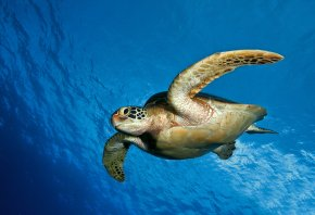 вода, океан, Черепаха, плывет, море